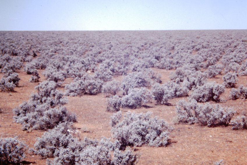Nullabor Plains - Knee high bush
